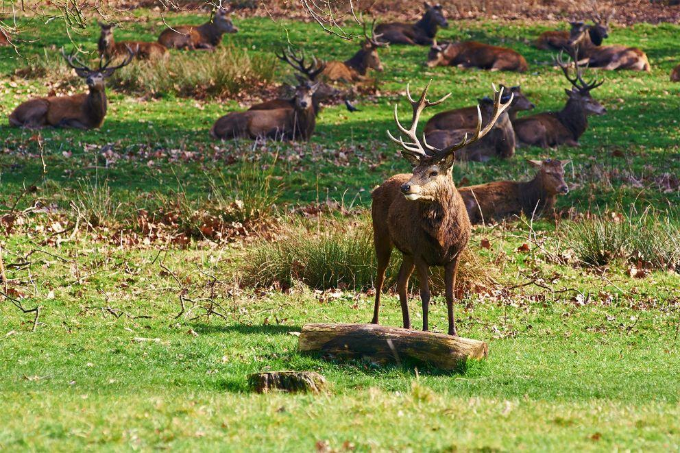 Ciervos en Richmond Park