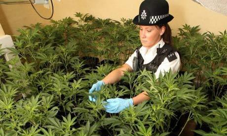 Hierba de Marihuana en el Reino Unido: Cannabis es legal? multa por consumo y narcotráfico