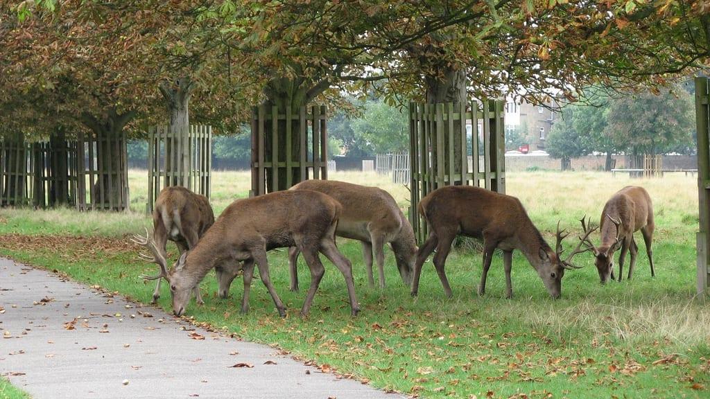 Animales y Ciervos en Bushy Park