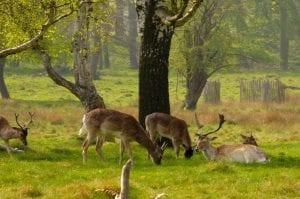 Ciervos en Richmond Park. Zonas de Londres para la naturaleza